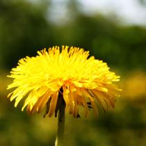 Image Le Qi des plantes : le pissenlit